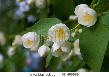 Beautiful jasmine flowers with green leaves as a background. Blooming jasmine flowers in the summer.