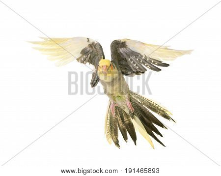 flying cockatiel in front of white background