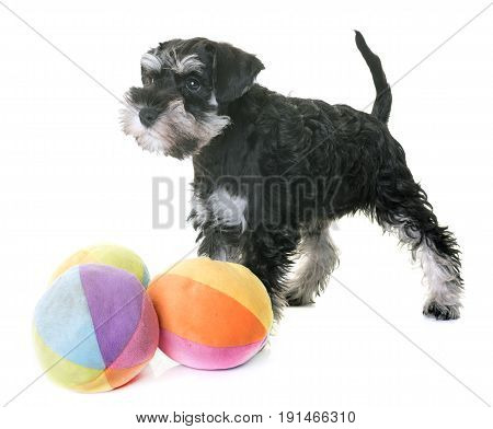 puppy miniature schnauzer in front of white background