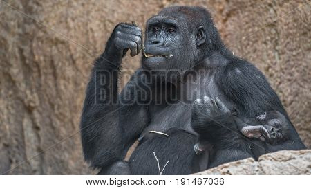 Portrait of powerful African gorilla with a baby female