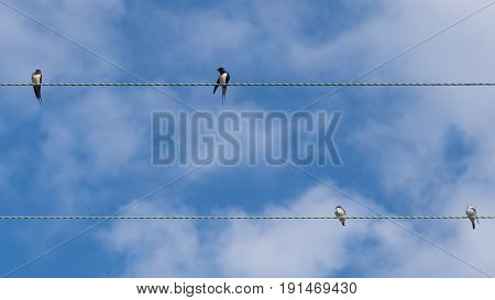Swallows (Hirundo rustica) on telephone wires. Flock of birds in the family Hirundinidae resting on cables in front of blue sky in the British summer