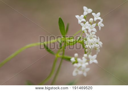 Marsh bedstraw (Galium palustre) flowers. Lax pyramidal panicle of white flowers on straggly plant in the family Rubiaceae