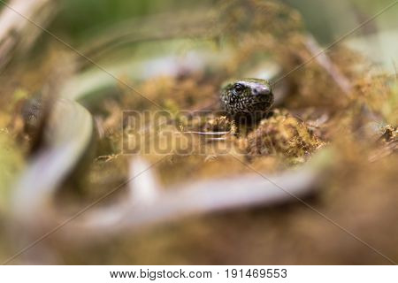 Slow worm (Anguis fragilis) head and eye. A legless lizard in the family Anguidae with shallow depth of field on eye
