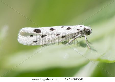 Ethmia dodecea micro moth. Very local insect in the family Ethmiidae found during the day at Wick Golden Valley Nature Reserve