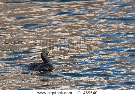 Cormorant (Phalacrocorax carbo) swimming on lake. Large birds in the family Phalacrocoracidae moving through water in typical low position