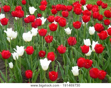 Many colorful tulips as a floral background