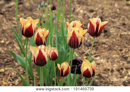 Many colorful tulip on the flower bed