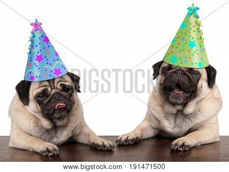 adorable cute pug dog puppies singing and wearing birthday hat isolated on white background
