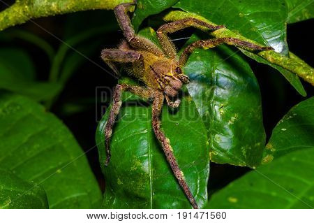 Venomous wandering spider Phoneutria fera sitting on a heliconia leaf in the amazon rainforest in the Cuyabeno National Park, Ecuador.