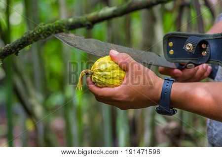 Fresh Cocoa fruit in farmers hands. Organic cacao fruit - healthy food. Cut of raw cocoa inside of the amazon rainforest in Cuyabeno National Park in Ecuador.