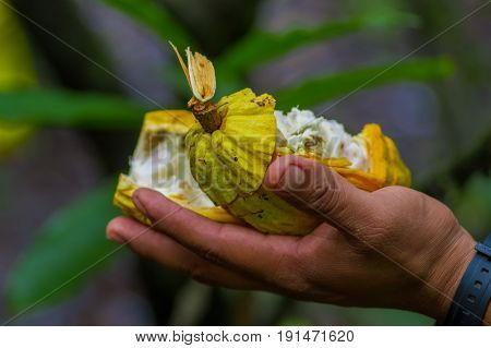 Close up of fresh Cocoa fruit in farmers hands. Organic cacao fruit - healthy food. Cut of raw cocoa inside of the amazon rainforest in Cuyabeno National Park in Ecuador.