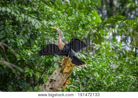 Anhinga or snakebird sittting over a branch, inside of the amazon rainforest in the Cuyabeno National Park in Ecuador.