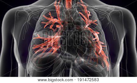 3d illustration of human body organ (lungs anatomy)