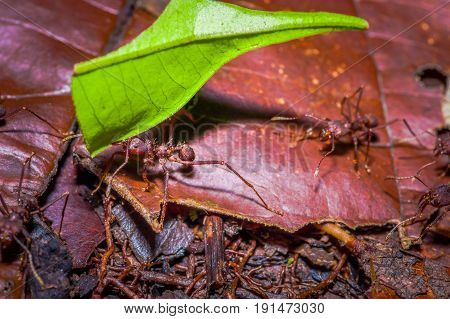 Small red ants cutting tree leafs, on the ground inside the forest in Cuyabeno National Park, in Ecuador.