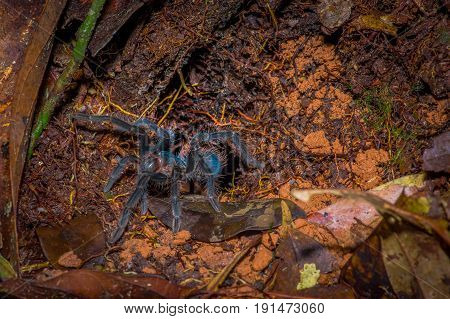 The most beautiful tarantula species in the world, the Martinique bird eater, iside the forest in the Cuyabeno National Park, in Ecuador.