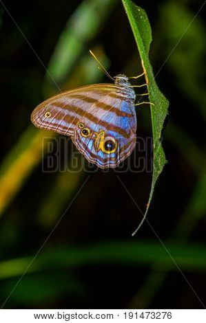 Giant Caligo Oileus Butterfly, the owl butterfly, Amazonian rainforest, in Cuyabeno National Park in South America Ecuador.