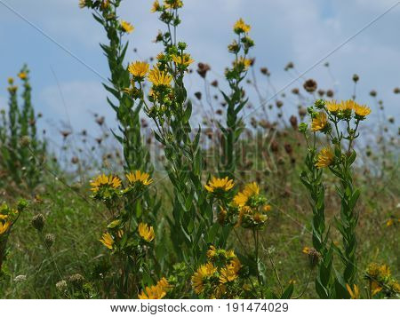 Wildflowers are thriving in Texas heat already this year. While others have gone to seed, these are as fresh as a daisy.