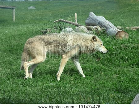 A gray wolf walking though the fenced area.
