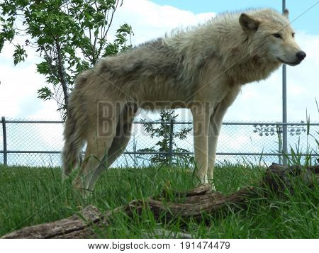 A lone gray wolf standing on a log and looking over the pack  and his domain.