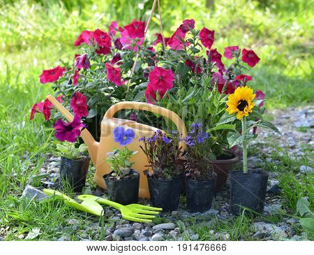 Beautiful garden still life with petunia and summer flowers in planting pots. Vintage planting flowers concept