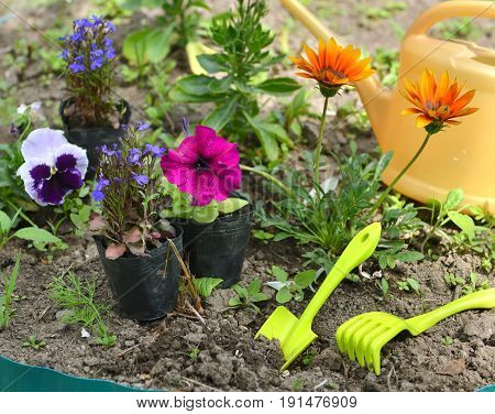 Garden still life with petunias, pansy flowers and tools in flower bed. Vintage planting flowers concept