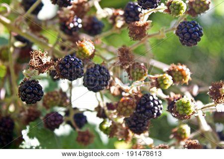 Blackberries ripening on the plant in summer