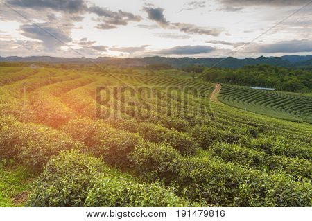 Tea plantaion field over high hill sunset tone natural landscape background