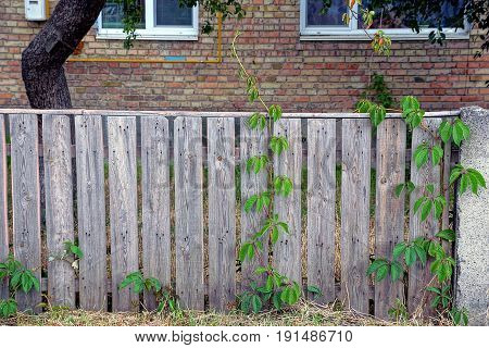 Gray fence overgrown with ivy near a brick house