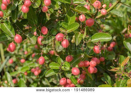 Carissa carandas L. herb's tree. red fruit