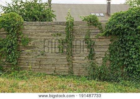 Old gray wooden fence overgrown with green plants and grass