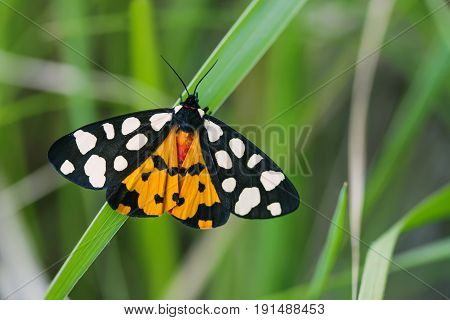 Arctia villica butterfly. Beautiful flying insect orange black white colors, green grass leaf background. selective focus macro nature photo.