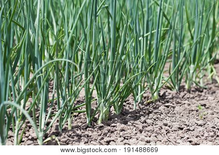 Organic green onion growing field. Agriculture farming still life. Shallow depth field photo