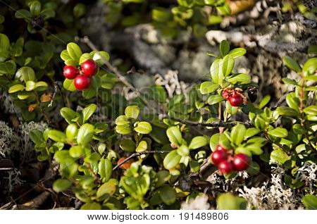 Red ripe cowberry in the green forest