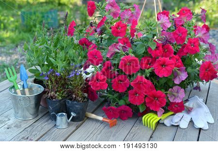 Garden still life with petunia flowers and working tools on planks. Vintage planting flowers concept. Beautiful summer background