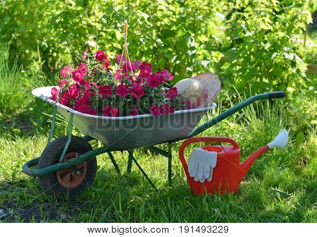Summer still life with petunia flowers in hand cart and watering can in sunny garden. Vintage planting flowers concept. Beautiful nature background