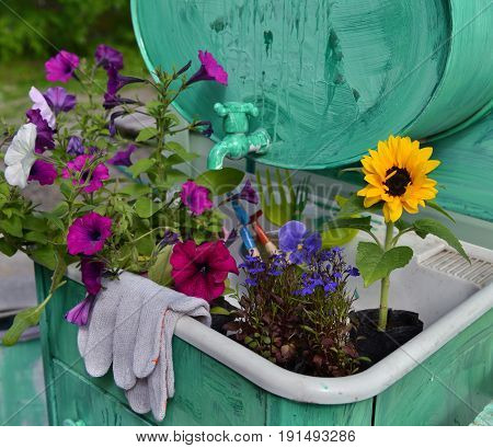 Garden still life with beautiful flowers and protective gloves. Petunia, sunflower and pansy. Vintage planting flowers concept. Beautiful summer background