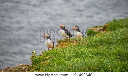 Icelandic Puffins At Remote Islands On Iceland, Summer