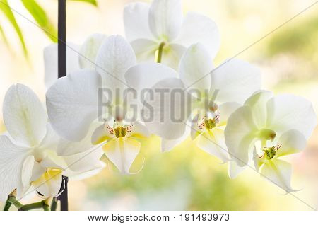 a branch of white orchid flower closeup