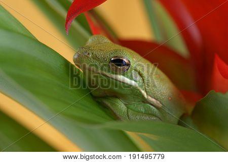 Tree frog (Litoria infrafrenata) hidden in the plants