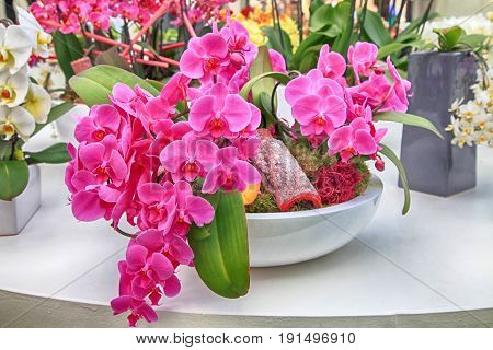 Closeup of Orchids flowers in white clay pot. Bouquet of lilac orchids flowers with green leaves nature background. Selective focus
