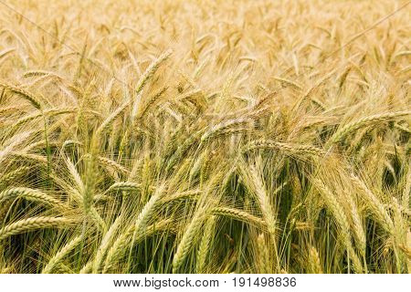 Partly ripened grains in a field - closeup on green golden stems and spikes