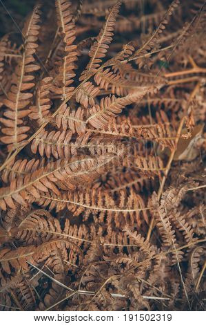 Dry fern texture and background. Abstract texture and background for designers. Macro view of dry fern leaves. Organic texture and background. Dry fern leaves in the forest.