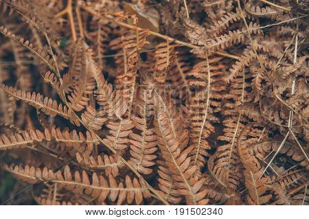 Dry fern texture and background. Abstract texture and background for designers. Macro view of dry fern leaves.
