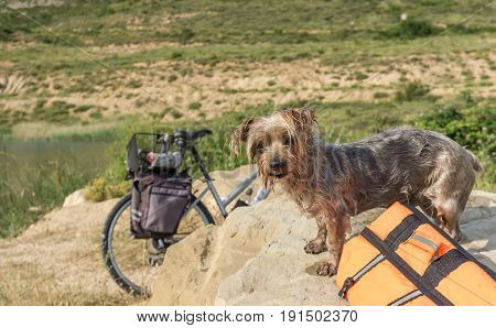 Expressive Dog wet after swimming, with a life acket and a water toy. Doggy with curiosity expression doggie. Yorkshire Terrier brown dog