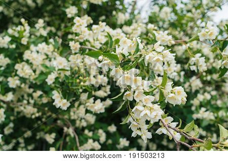 Jasmine bush with white flowers and green leaves in full blossom at summer park floral background. Beautiful jasmin flowers in bloom
