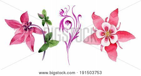 Wildflower aquilegia flower in a watercolor style isolated. Full name of the plant: pink aquilegia. Aquarelle wild flower for background, texture, wrapper pattern, frame or border.