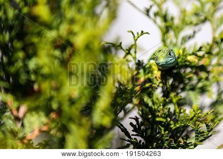 The beautiful lizard camouflaged in nature .