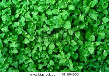 Background Of Fresh Green Leaves. Green Leaves Background. Green Background With Leaves. Flat Lay, F