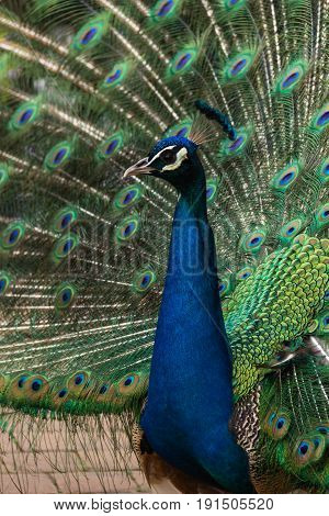 Photo of a male peacock making the wheel