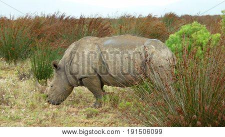 Grumpy Rhino caught in a reserve park.